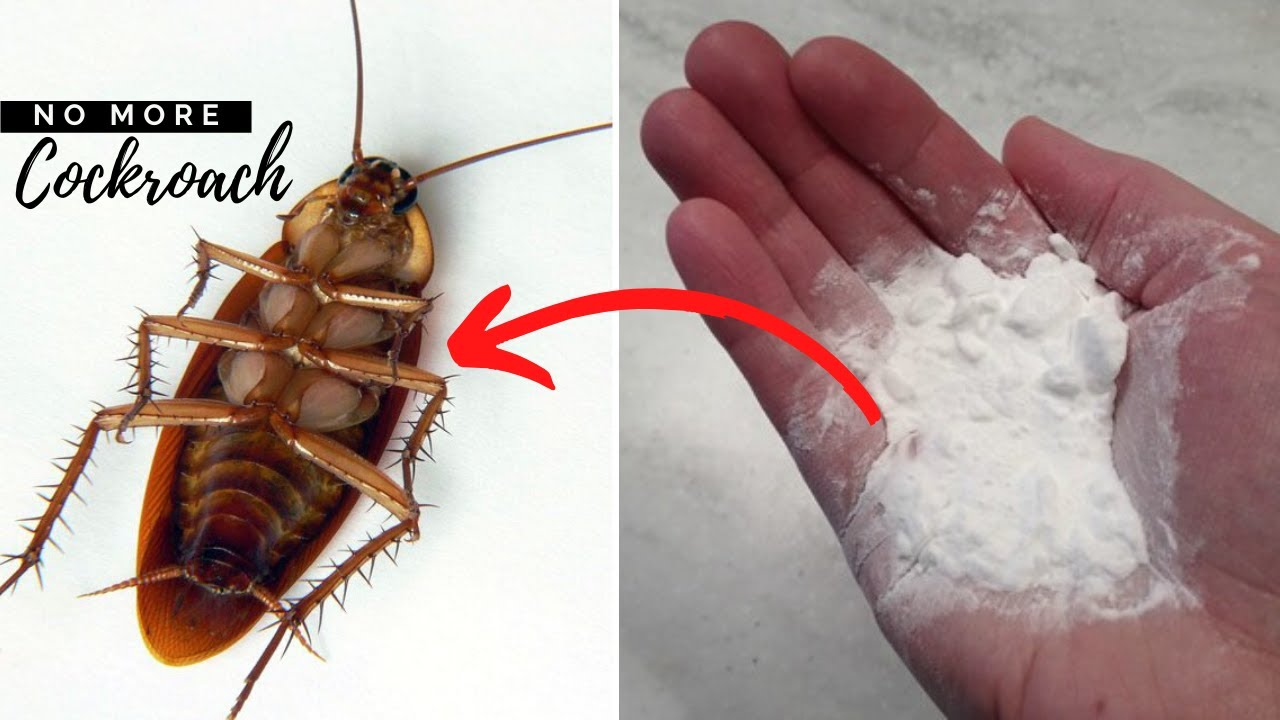 Safe Way To Get Rid Of Cockroaches In The House And ...